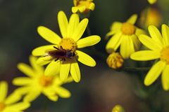 Small insect on yellow flowers Royalty Free Stock Images
