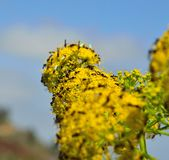 Small insects on fennel flowers. Wildflowers of fennel and insects Royalty Free Stock Photo