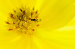 Small insects. forage on yellow pollen. Royalty Free Stock Image