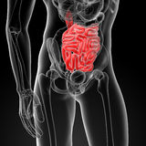 Small intestine Royalty Free Stock Photos