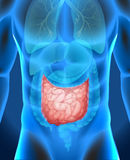 Small intestine in human body Royalty Free Stock Photos