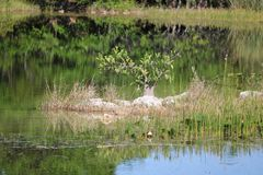 A small Island in the Florida Everglades. A very nice dry spot among all the water in the Florida Everglades. The beautiful reflects in the water bring out the royalty free stock photography