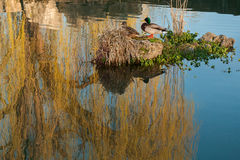 Island in lake among reflection of weeping willow Stock Image