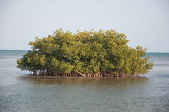 Small island of trees. A view of a small island of trees in shallow water near Key West, Florida (USA Stock Images