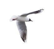 Small isolated flying black-headed gull Stock Photos