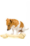 Small jack russel whit a giant big bone. Isolated on white royalty free stock photo