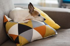 Jack Russell Terrier small dog resting on a pillow with graphic pattern. Small Jack Russell Terrier dog resting on a pillow with graphic pattern on a coach royalty free stock photography