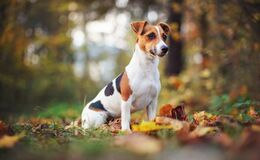 Free Small Jack Russell Terrier Dog Sitting On Brown Leaves, Nice Blurred Bokeh Autumn Background Stock Photo - 219719110
