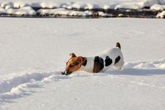 Small Jack Russell terrier dog wading in deep snow, ice crystals o her nose royalty free stock image