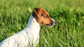 Small Jack Russell terrier sitting calm in the grass looking to side, sun shining on her head.  stock image