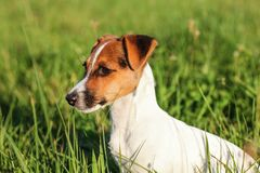 Small Jack Russell terrier sitting in low grass, looking to side, detail on her head.  royalty free stock images