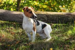 Small Jack Russell terrier standing in low forest grass, sun shining on her head.  stock photo