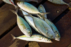 Small jackfish in the caribbean. Fresh fish for sale at port elizabeth, bequia Stock Photography