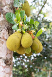 Small jackfruit on tree Stock Photos