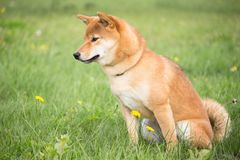 Small Japanese dog shiba inu in canine education with a sitting position Royalty Free Stock Photo