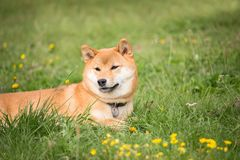 Small Japanese dog shiba inu lying in the grass and resting in the sun Stock Photos