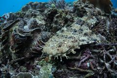 Small Japanese Wobbegong Shark in Raja Ampat. A small Japanese wobbegong shark rests on the seafloor in Raja Ampat, Indonesia. This remote, tropical region is royalty free stock photo