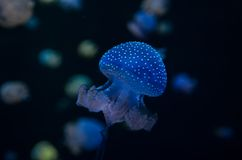 Small Jelly Fish Royalty Free Stock Photos
