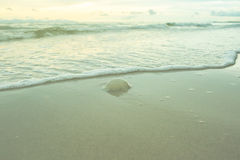 Small jellyfish on the beach Stock Image