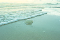 Small jellyfish on the beach Royalty Free Stock Images