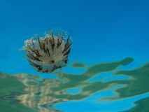 A small jellyfish from the family of compass jellyfish Chrysaora hysoscella in the Mediterranean sea stock photo
