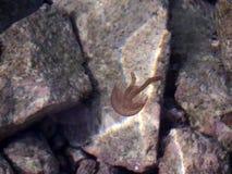 Small jellyfish among the rocks Stock Photos