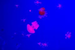 Small jellyfishes in aquarium Royalty Free Stock Images