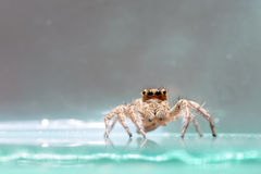 Small Jumping Spider Royalty Free Stock Photos
