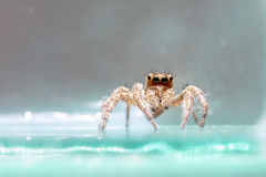 Small Jumping Spider Stock Images