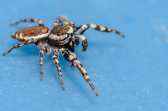 Small Jumping Spider. On a Blue Surface Royalty Free Stock Image