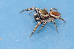Small Jumping Spider. On a Blue Surface Stock Photos