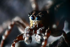 Small jumping spider on a flower black Royalty Free Stock Images