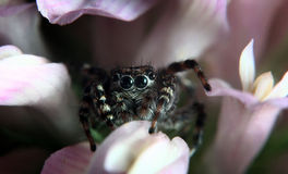 Small jumping spider on a flower black Royalty Free Stock Photography