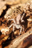 Small jumping spider Stock Photo