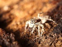 Small jumping spider Royalty Free Stock Photo