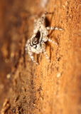 Small jumping spider Royalty Free Stock Images
