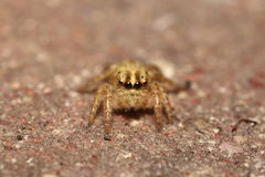 Small jumping spider Stock Photography