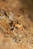 Small jumping spider Royalty Free Stock Photography
