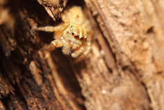Small jumping spider Royalty Free Stock Image