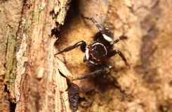 Small jumping spider Stock Image