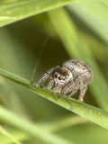 Small jumping spider position monitors Stock Image