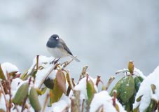 Small Junco Bird sitting on a snow bush. Stock Images