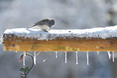 Small Junco feeds in the snow. Royalty Free Stock Images