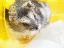 Small Jungar dwarf hamster Stock Photos