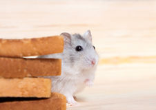 Small Jungar hamster near the bread toasts Royalty Free Stock Photography