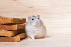 Small Jungar hamster near the bread toasts Royalty Free Stock Photos