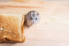 Small Jungar hamster near the bread toasts Royalty Free Stock Photo