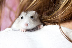 Small Jungar hamster on the shoulder of a woman Royalty Free Stock Photos