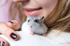 Small Jungar hamster on the shoulder of a woman Stock Photography