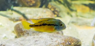 Small juvenile parrot cichlid, a fish from the atlantic slope of America stock image